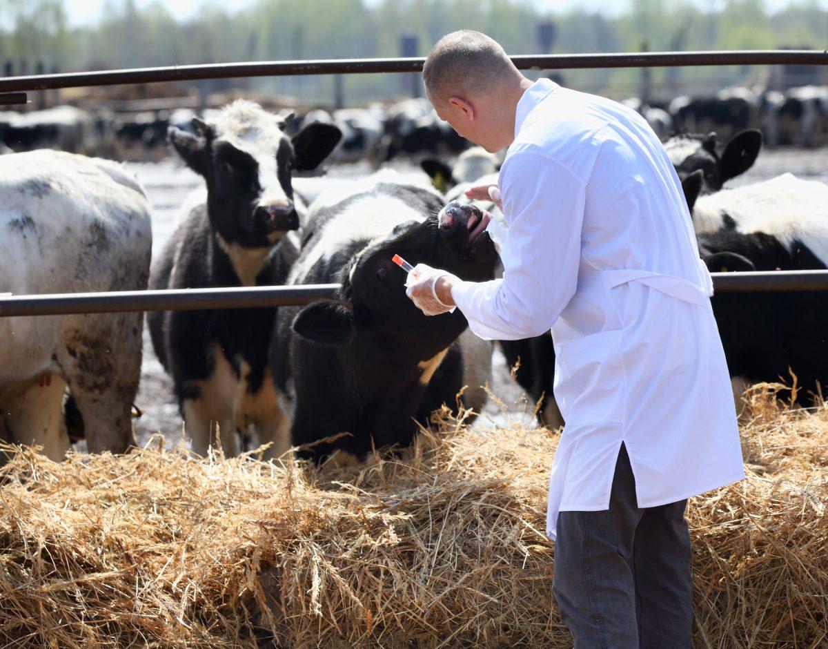 veterinario con mucche
