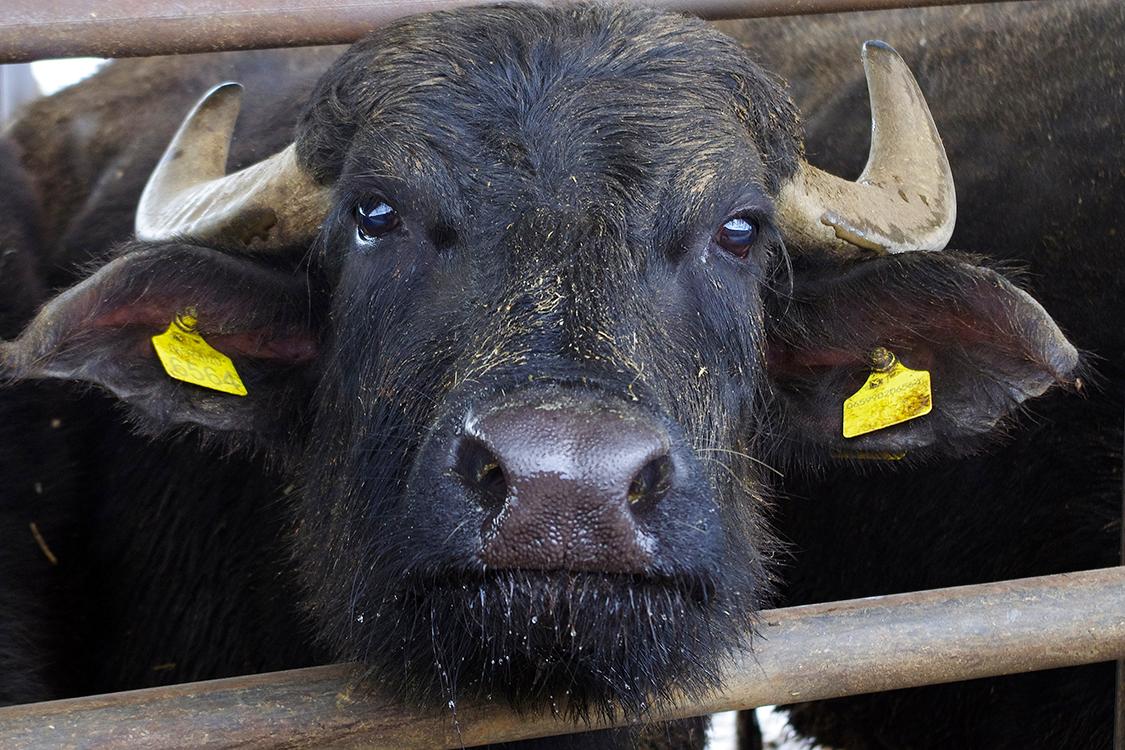 bufala italiana