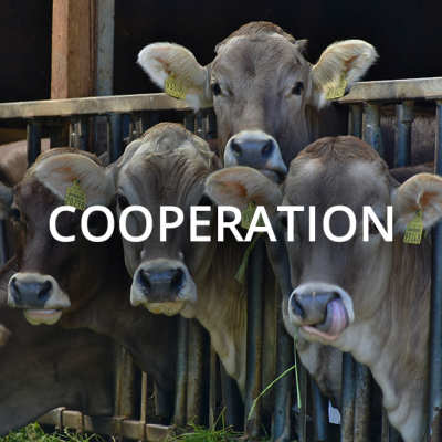 mucche-cooperation
